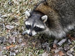 Raccoon Removal, Humane Wildlife Control | Cornelius, Mooresville &  Kannapolis, NC | Wallah Wildlife LKN