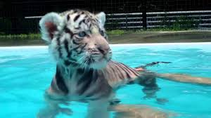 baby tiger s first swim you