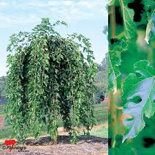 ornamental weeping mulberry chaparral
