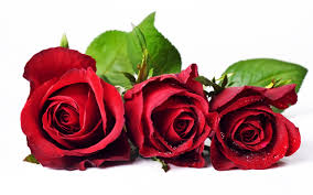red rose flower wallpapers free