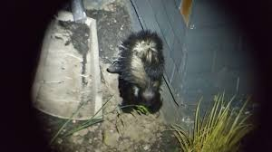 Skunks Digging Under Your Home Advanced Animal Removal