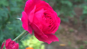 rose flowers hd loop free
