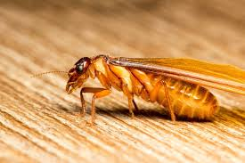 12+ Winged Reproductive Termite  Background