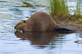 Image result for Beavers photos of