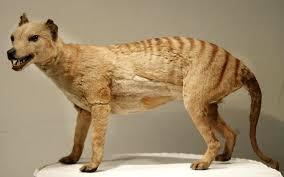 Tasmanian tiger ...
