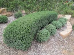Top Plants For Hedges And Screens