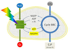 shedding light on photosynthesis