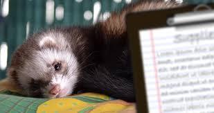 essential ferret supplies list