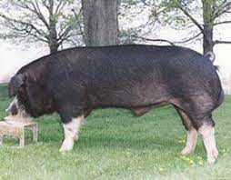 Poland China - Iowa Pork