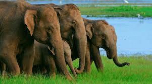 Habarana-Elephant-Elephants-Elefant-Elefanter-Sri-Lanka – Indcen Resor