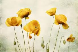 Yellow Poppy Photography Yellow Poppies Yellow Flowers Olive Green Yellow Floral Wall Art Photograph By Amy Tyler