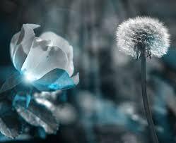 musim dingin menanam dandelion