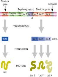 mcdb 2150 genetics final flashcards