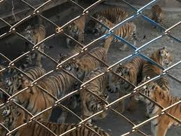 What I Saw At A Chinese Tiger Farm And What It Means For Wild Tigers Stories Wwf