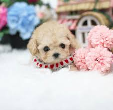 available puppies exclusive teacup poodle