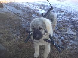 Adventures In Puppy Raising Loch Lomond Livestock Ltd