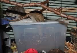 diy rat digging box petdiys