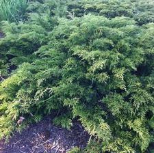 juniperus sabina skandia from nvk