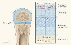 stem cell that keeps bones growing