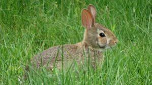 Liquid Fence Rabbit Repellent Concentrate Review One Of The Best Rabbit Remover