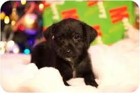st louis mo poodle miniature meet