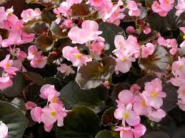 shade shade annuals annual flowers