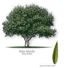 Native - Southern Wax Myrtle: Gray-green to yellow-green foliage. Partial  sun to shade. Low to moderate water. 10…   Fast growing trees, Myrtle tree,  Trees to plant