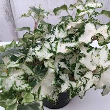 Hedera helix 'White Wonder' - English ivy / common ivy   Hedera helix,  Hedera, Ivy plants