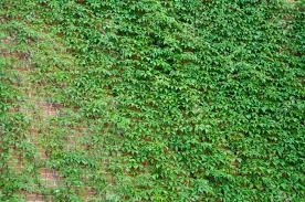 Architecture And Nature. House Building Covered With Ivy. Green.. Stock  Photo, Picture And Royalty Free Image. Image 119841590.