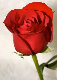 وردة حب حمراء صور للورود ومعاني الوانها صور جميلة