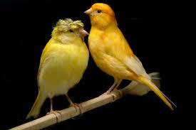 اجمل انواع طيور الكناري صور طيور روعة صوري