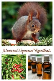 Natural Squirrel Repellent Ideas Keep Squirrels Out Of The Yard