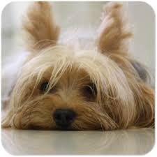 yorkie cute puppy free dog wallpapers
