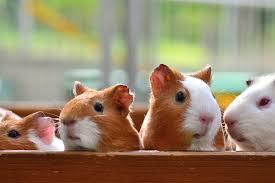 four white tan guinea pigs guinea pigs