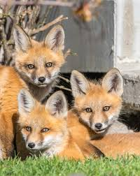 chestermere photographer watches fox