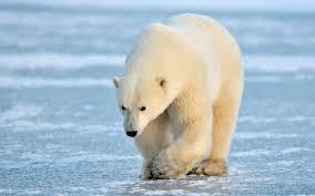 polar bear wallpaper 2560x1600 58909