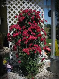 Training Roses On Structures How To Train A Climbing Rose Bush