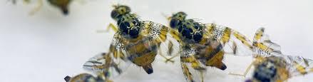 Insect pest control | IAEA