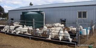 Dairy Goats And Milking Sheep