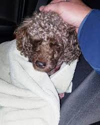 Four legged friends (and enemies): Indiana: Poodle named Coco survives four  days after pit bull attack before dying. Pit bull owner gets to take her  killer dog back home while her friends