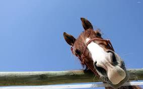 curious horse wallpaper