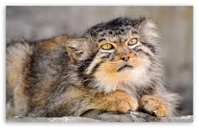 wild cat ultra hd desktop background