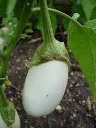 growing eggplant bonnie plants