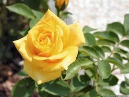 rose wallpaper zedge yellow roses