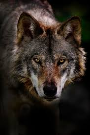 Wolf Portrait Google Search In 2020 Wolf Photos Wolf Photography Wolves Photography