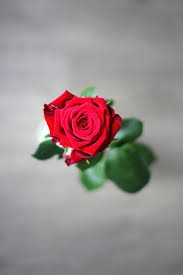 rose mother s day flower red love