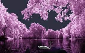 landscape with white swan wallpaper