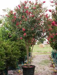 Tuscarora Crape Myrtle - Dallas, Texas - Treeland Nursery