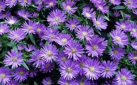hd fall flowers wallpaper