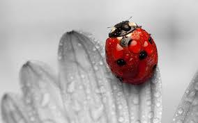 ladybug wallpaper beautiful ladybug